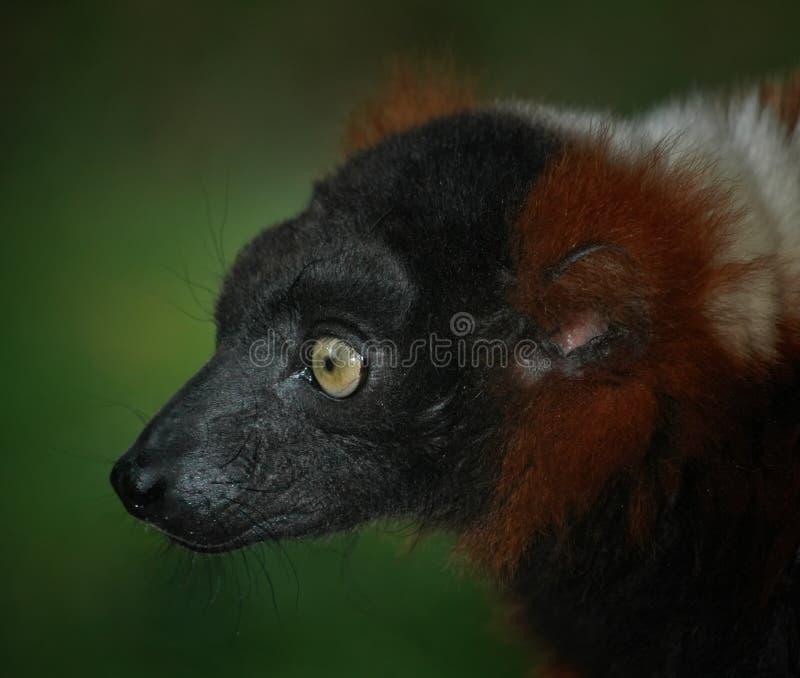Lemur - red vari stock images