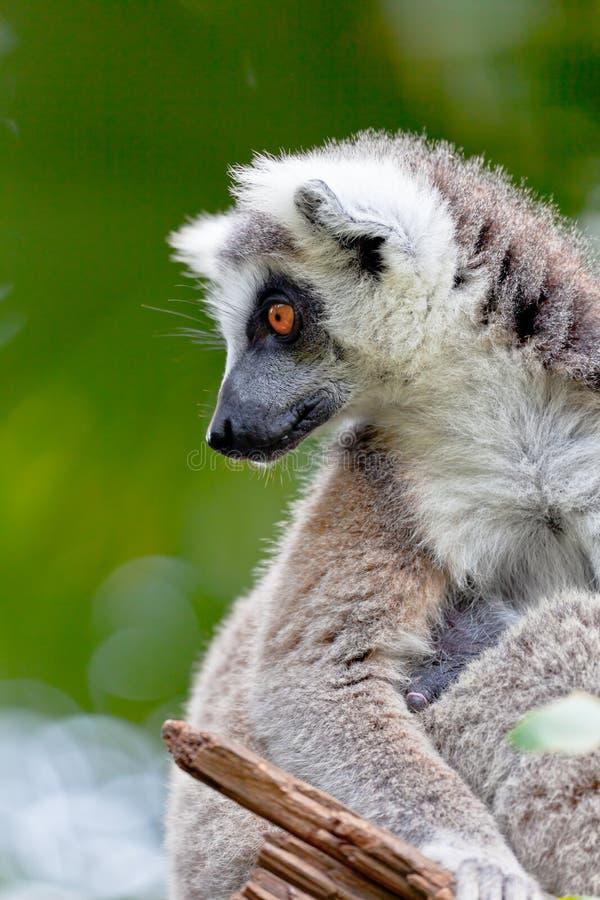 Download Lemur Of Ring-shaped Tail ,Lemur Catta Stock Photo - Image: 21526746