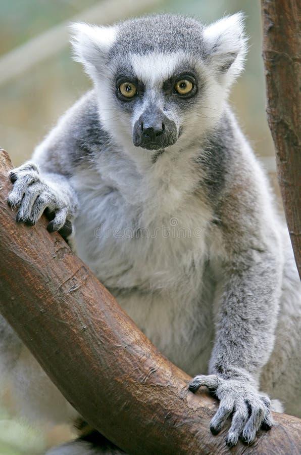Lemur Ring-tailed 1 fotografia stock libera da diritti