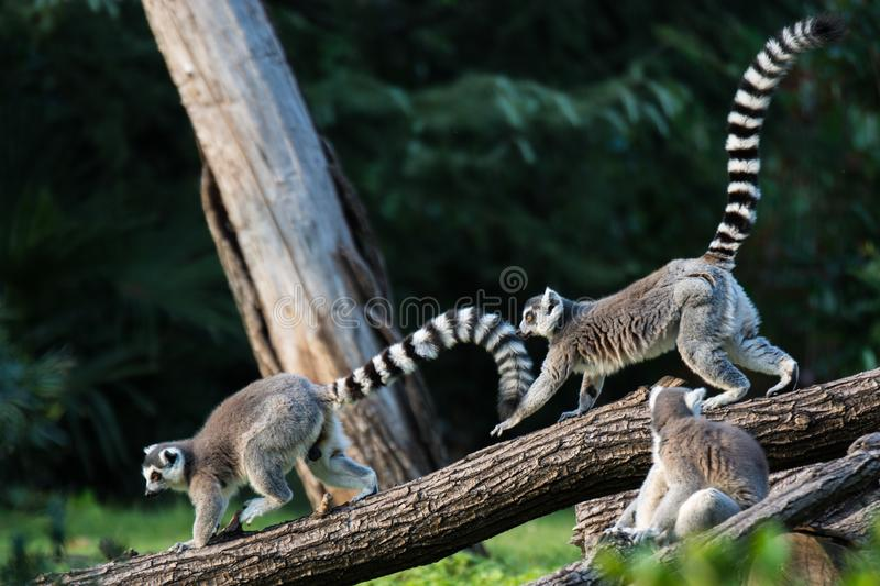 Lemur Ring-tailed photo stock