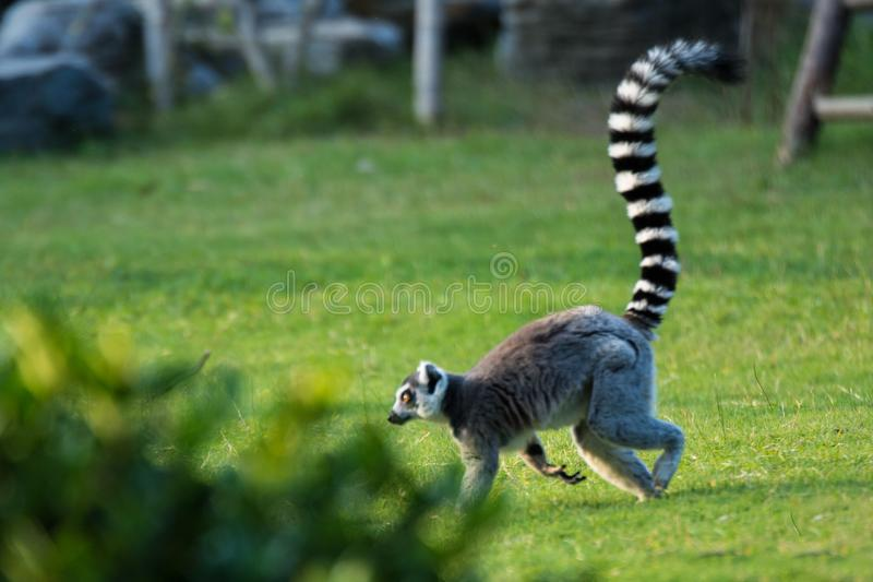 Lemur Ring-tailed photos stock