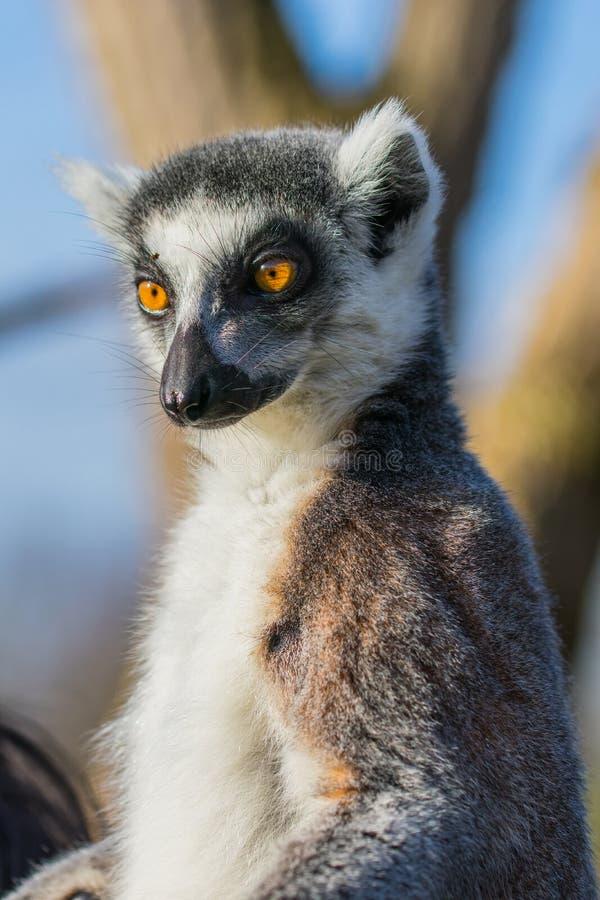 Lemur Ring-tailed immagini stock