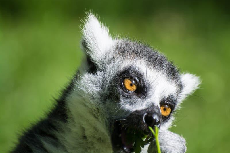 Lemur Ring-tailed images libres de droits