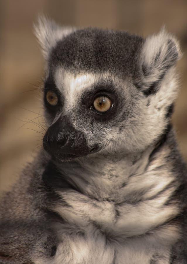 Lemur Ring-tailed imagens de stock royalty free