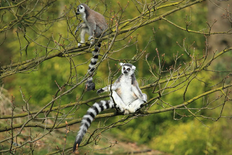 Lemur Ring-tailed photographie stock