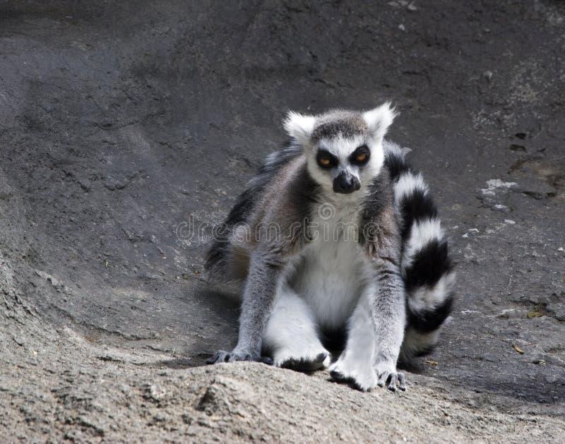 Lemur Ring-tailed image stock