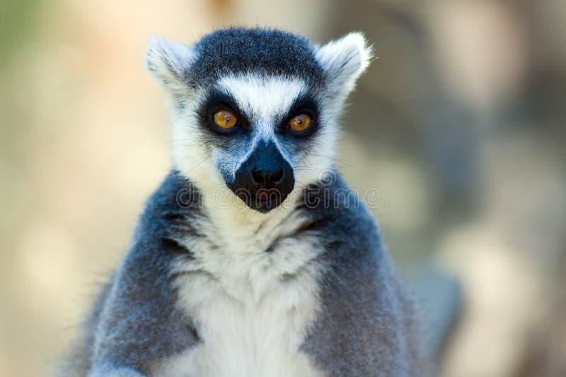 Lemur Ring-tailed photo libre de droits