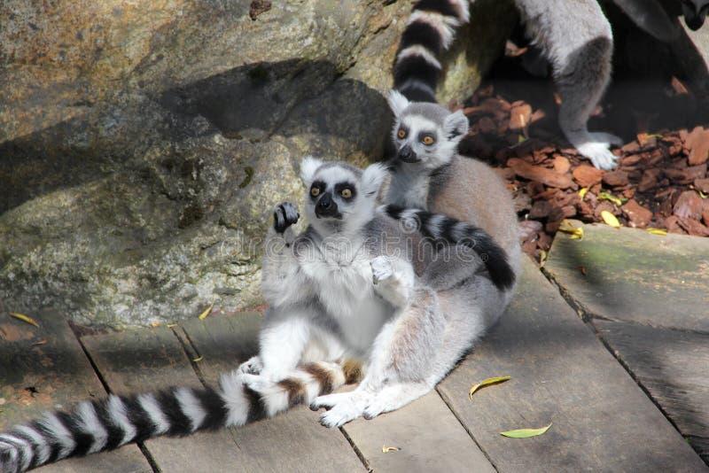 Lemur Ring-tailed immagini stock libere da diritti