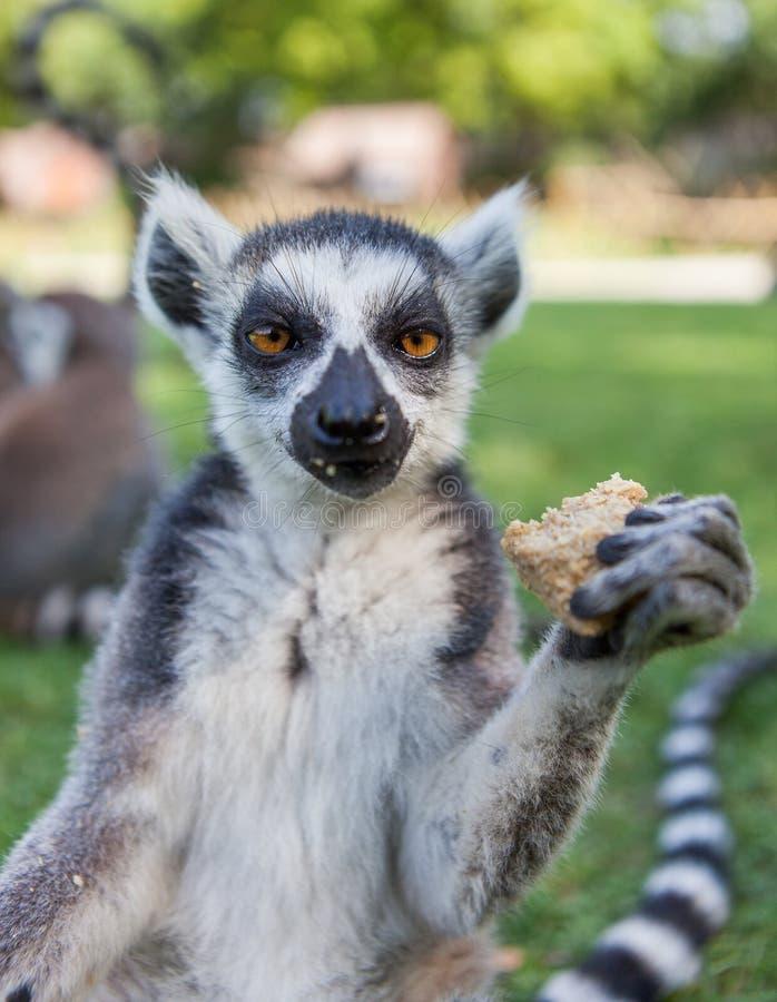 Lemur Ring-tailed photo stock