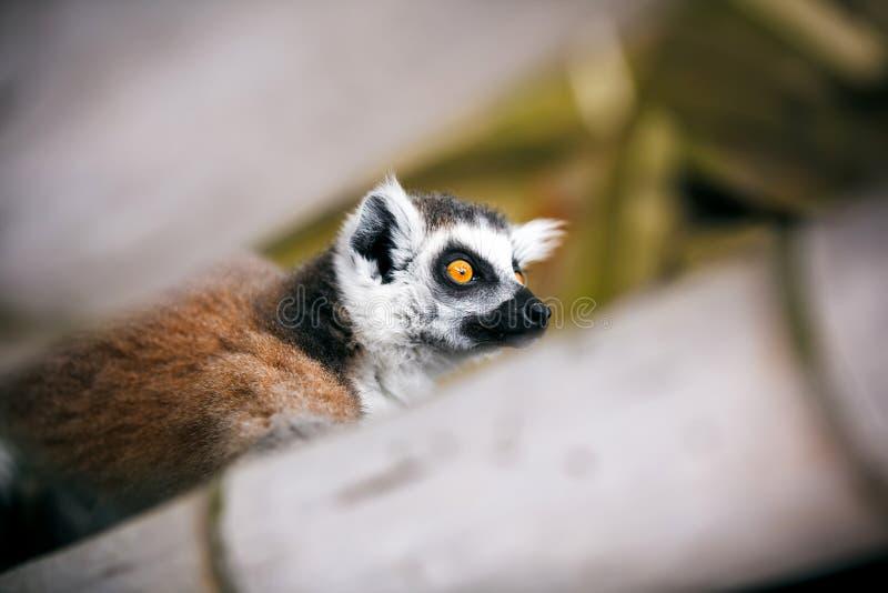 Lemur Ring-tailed image libre de droits