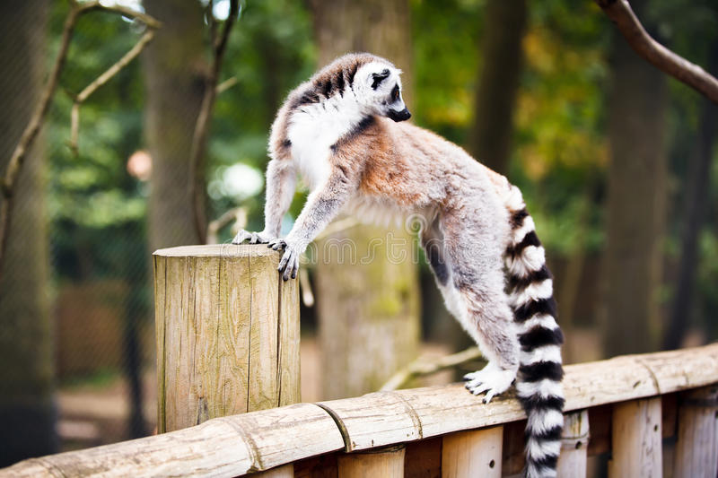 Lemur Ring-tailed images stock