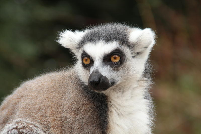 Download Lemur Ring-tailed photo stock. Image du appartient, grand - 45354928