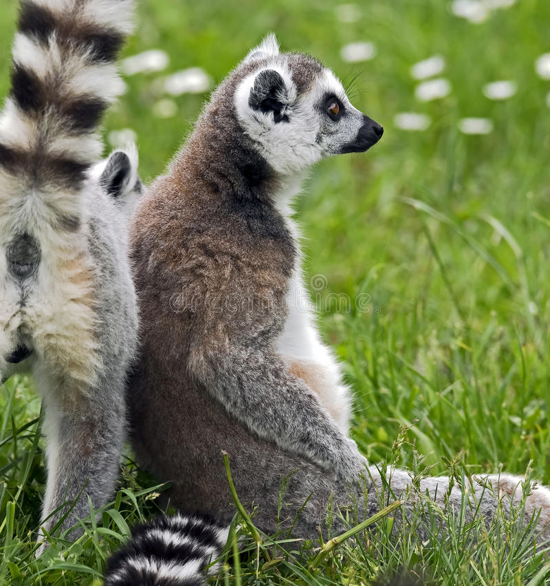Lemur Ring-tailed photos stock