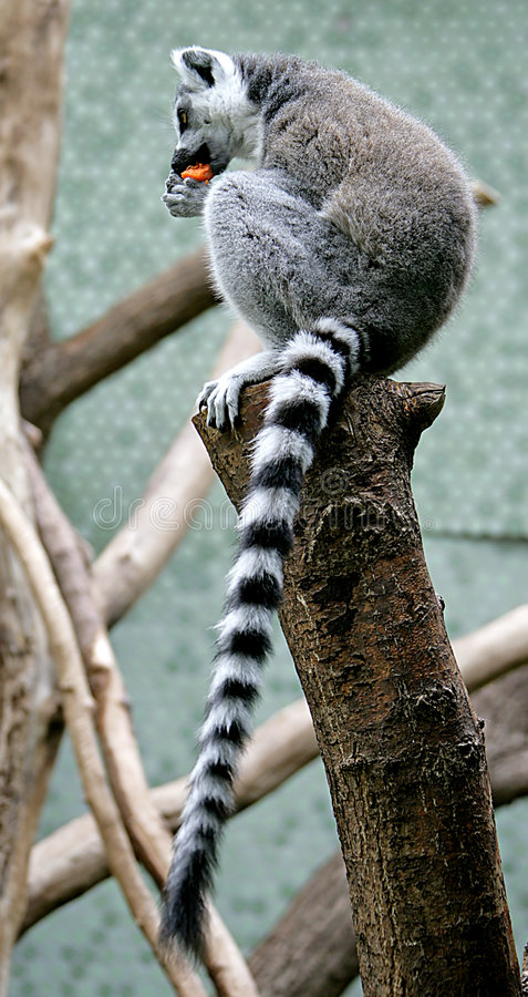 Lemur Ring-tailed 5   photo libre de droits