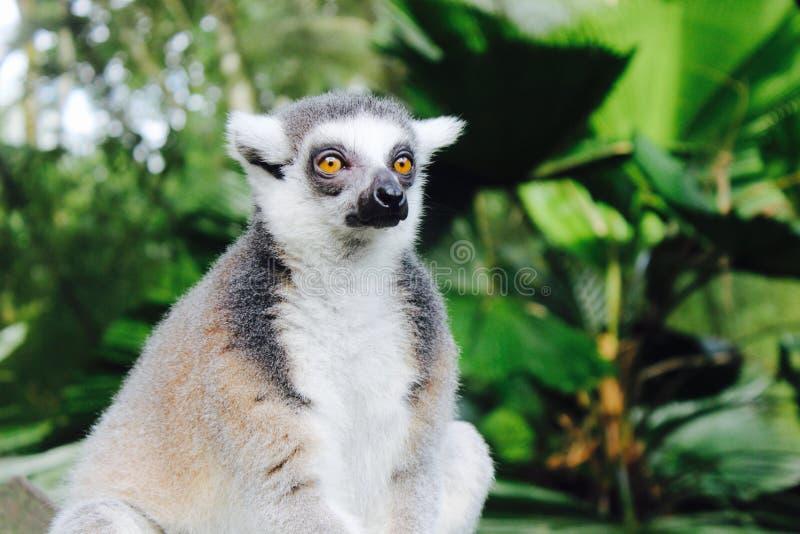 Lemur Ring-tailed imagem de stock