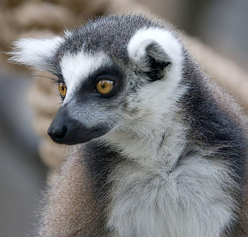 Lemur Ring-tailed 6 photographie stock libre de droits