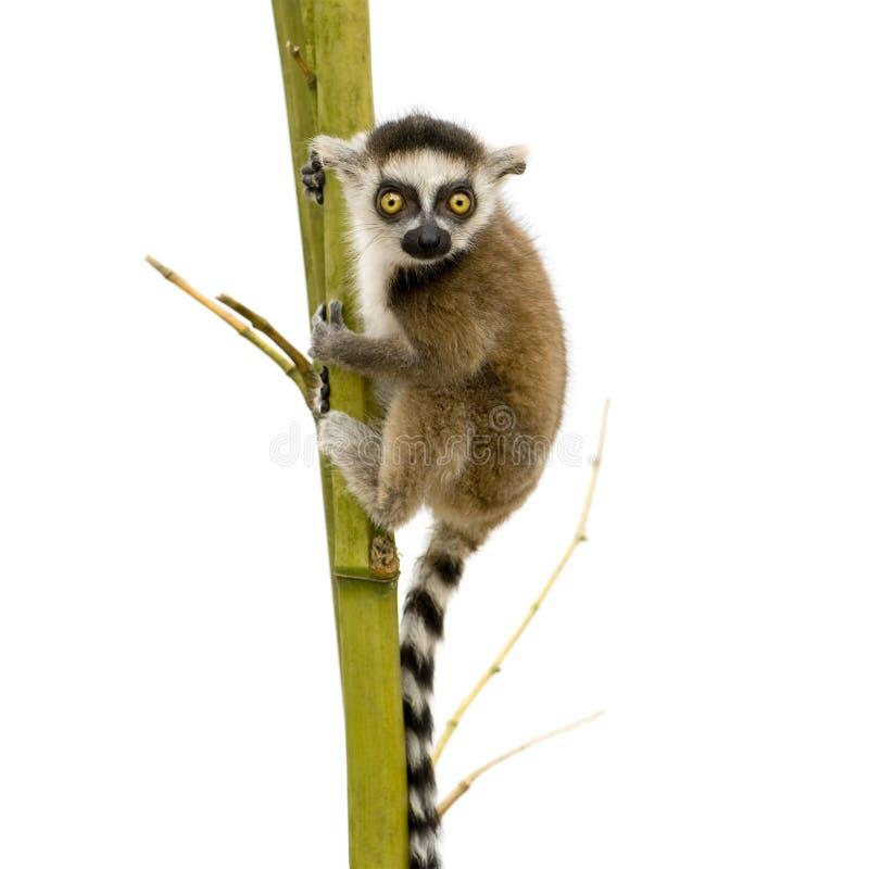 Lemur Ring-tailed (6 semaines) - catta de Lemur photographie stock libre de droits