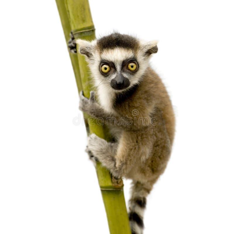 Lemur Ring-tailed (6 semaines) - catta de Lemur images stock