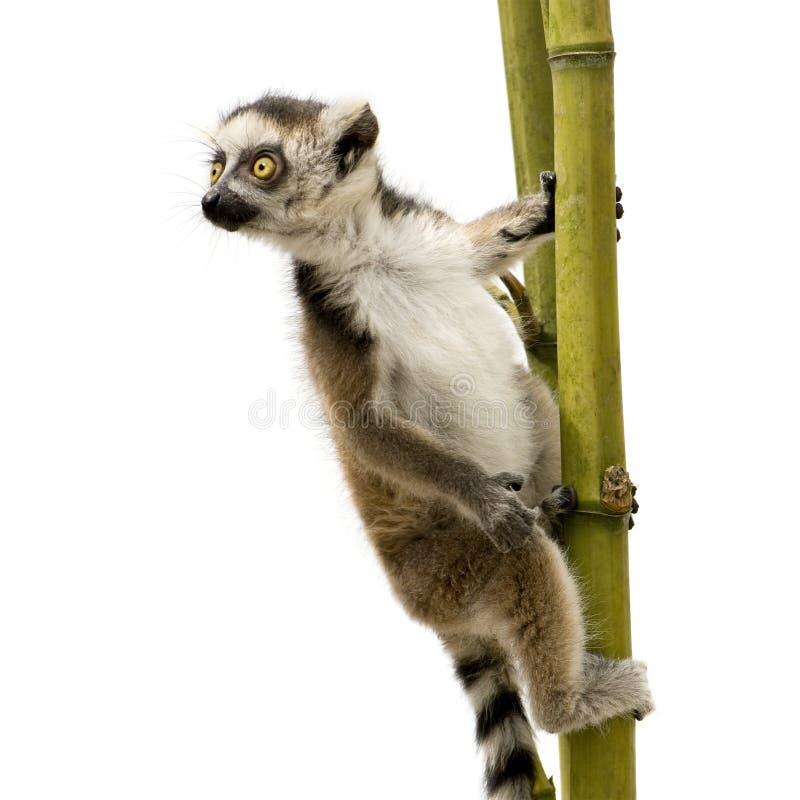 Lemur Ring-tailed (6 semaines) - catta de Lemur image stock
