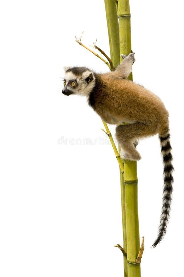 Lemur Ring-tailed (6 semaines) - catta de Lemur image libre de droits