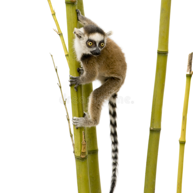 Lemur Ring-tailed (6 semaines) - catta de Lemur photos stock