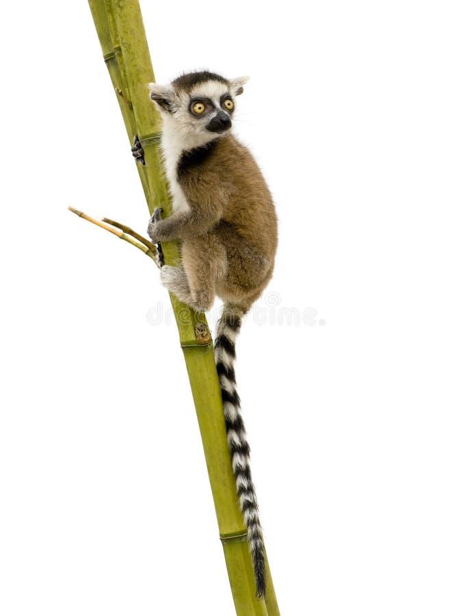 Lemur Ring-tailed (6 semanas) - catta del Lemur imágenes de archivo libres de regalías