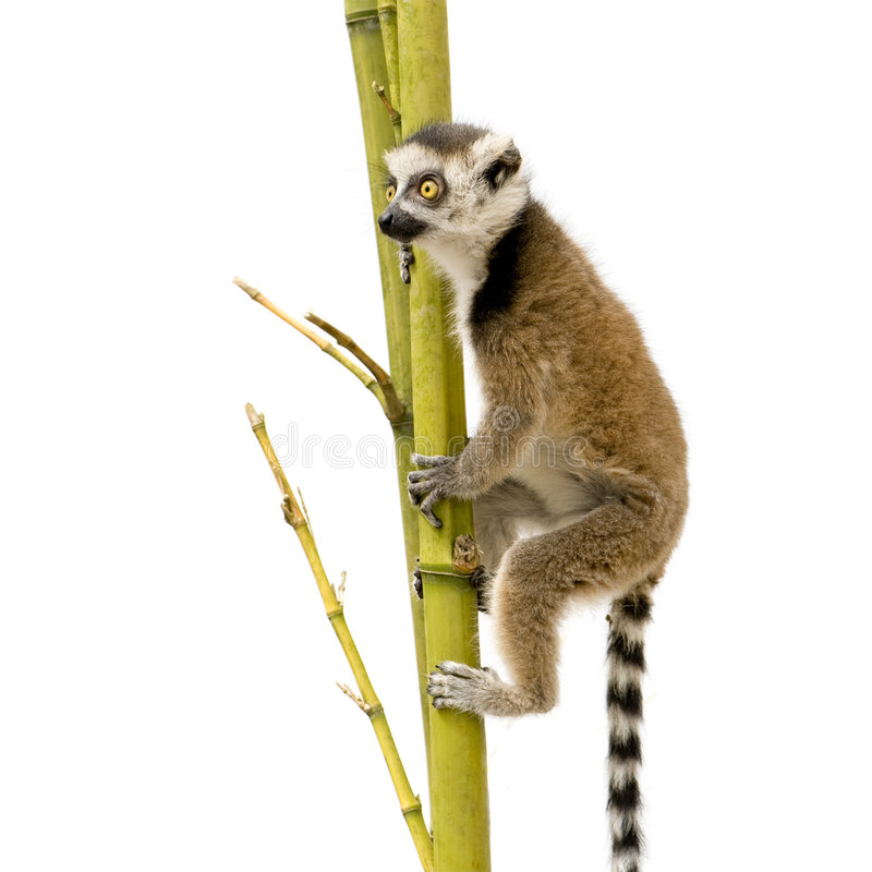 Lemur Ring-tailed (6 semanas) - catta do Lemur imagem de stock royalty free