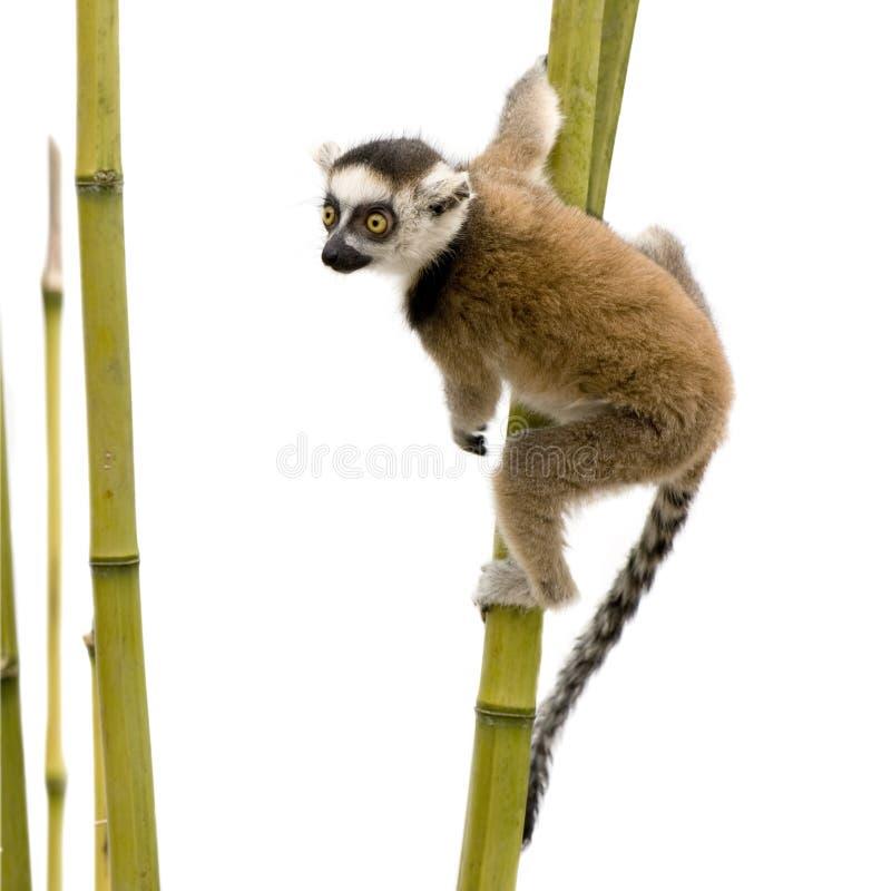 Lemur Ring-tailed (6 semanas) - catta do Lemur foto de stock royalty free