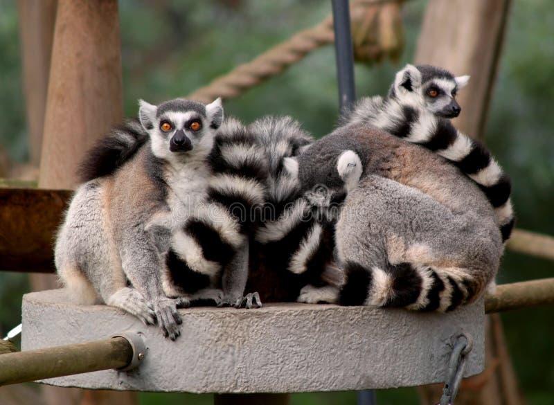 Download Lemur Ring-tailed immagine stock. Immagine di famiglia - 7304833
