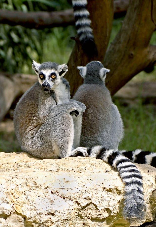 Lemur Ring-tailed 8 photographie stock
