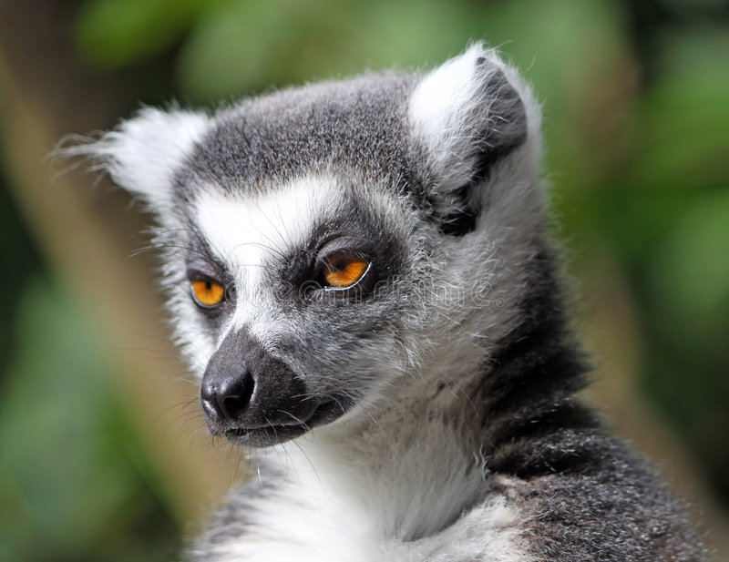 Lemur Ring-tailed fotos de stock