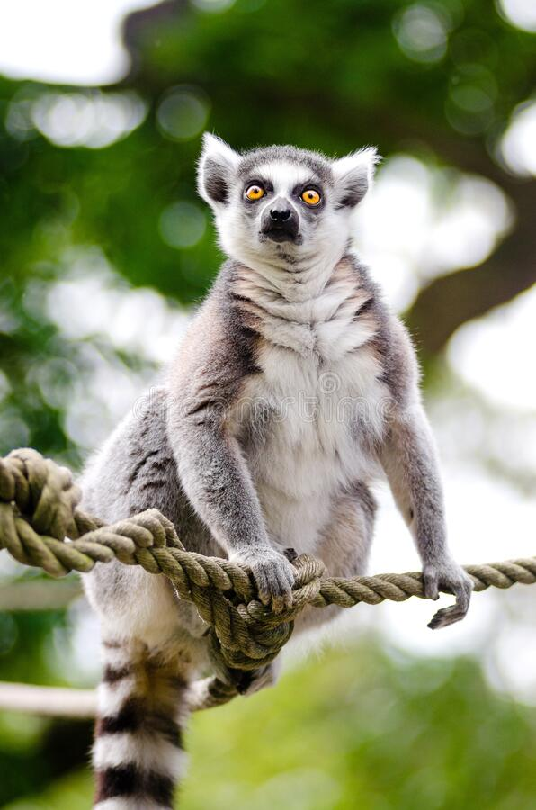 Lemur Ring-tailed fotografie stock libere da diritti