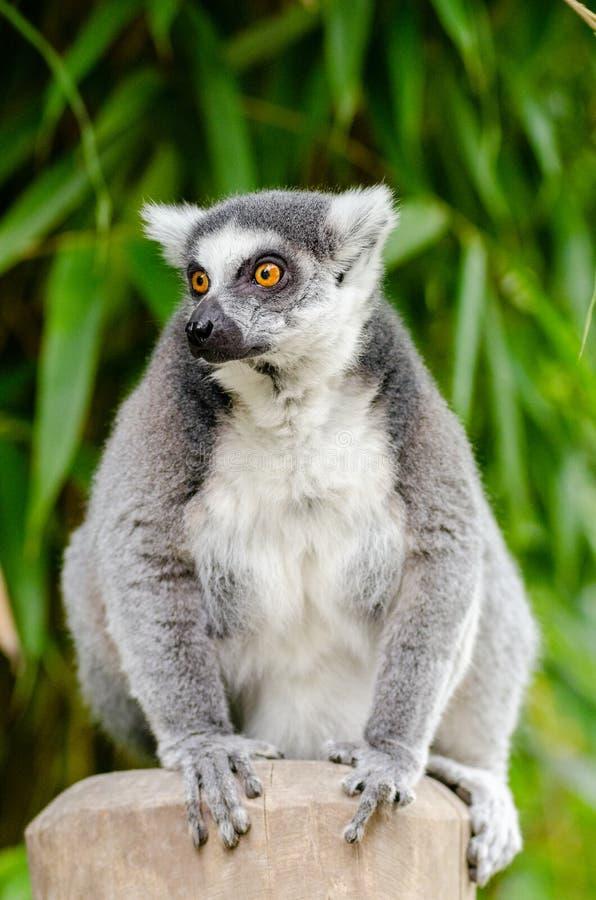 Lemur Ring-tailed fotografia stock