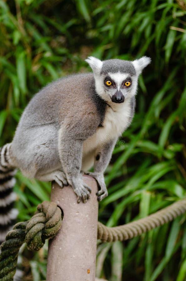 Lemur Ring-tailed fotografie stock