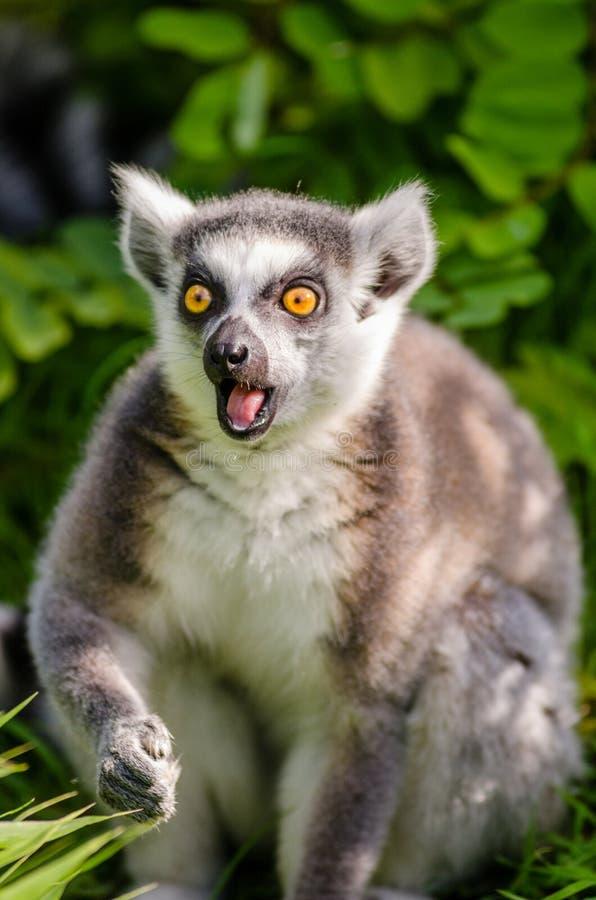 Lemur Ring-tailed Domaine Public Gratuitement Cc0 Image