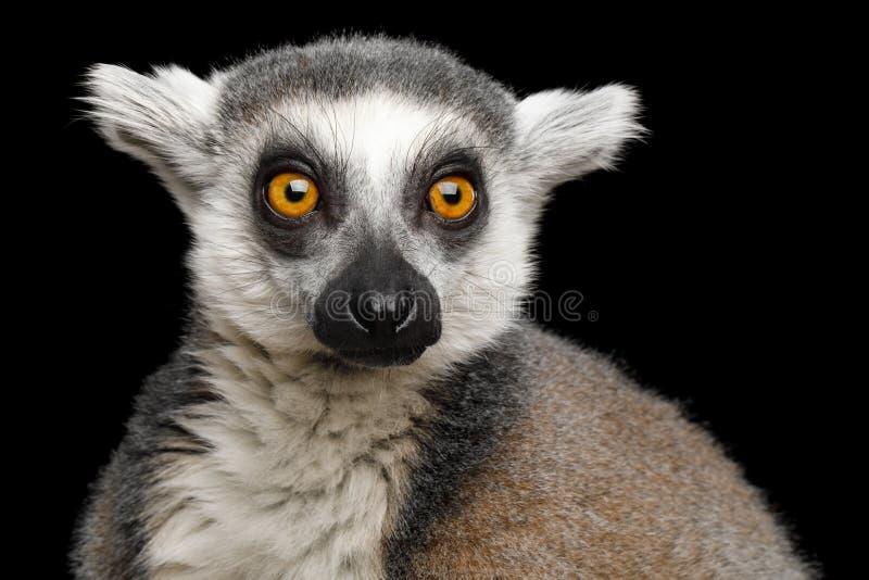 Lemur Ring-tailed imagem de stock royalty free