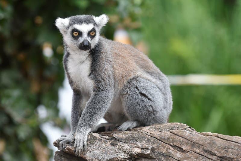 Lemur Ring-tailed photos libres de droits