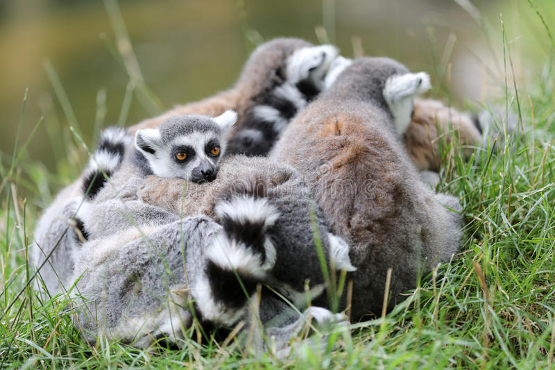 Lemur Ring-tailed photographie stock