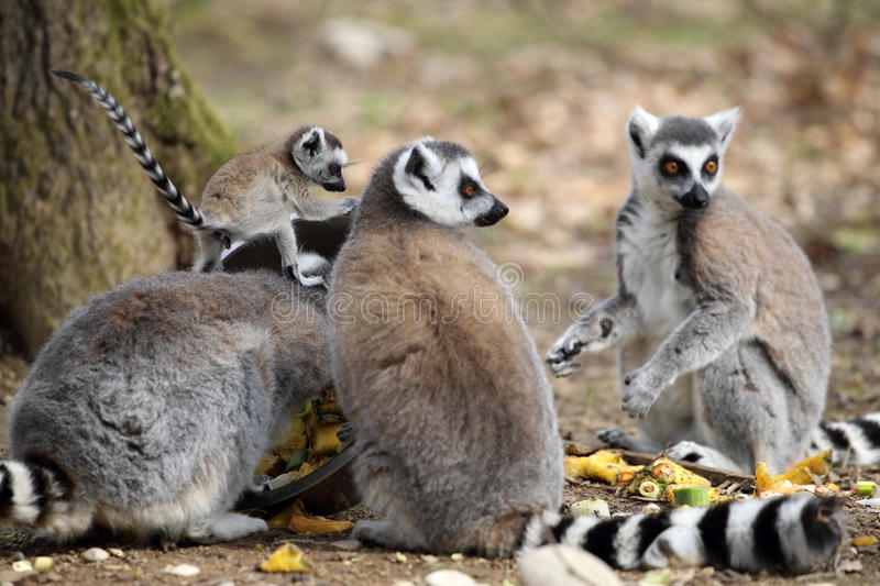 Lemur Ring-tailed avec l'animal images libres de droits