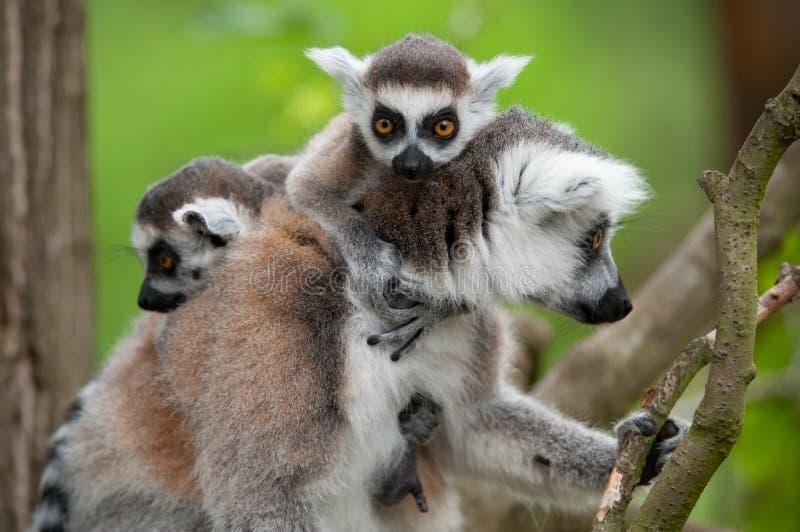 Lemur Ring-tailed avec ses chéris mignonnes image stock
