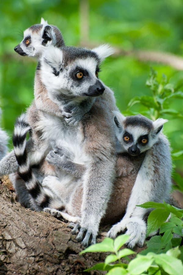 Lemur Ring-tailed avec ses chéris mignonnes image libre de droits