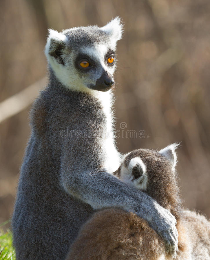 Lemur Ring-tailed (catta de Lemur) photographie stock libre de droits