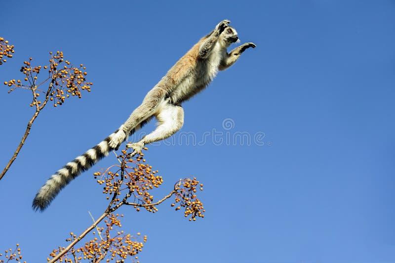 Lemur Ring-tailed, catta de lemur, Anja image libre de droits