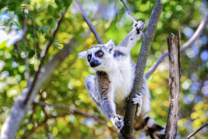 Lemur Ring-tailed, catta de lemur, Anja photographie stock