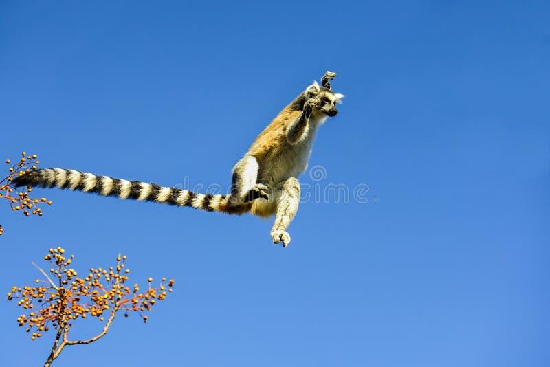 Lemur Ring-tailed, catta de lemur, Anja photographie stock libre de droits