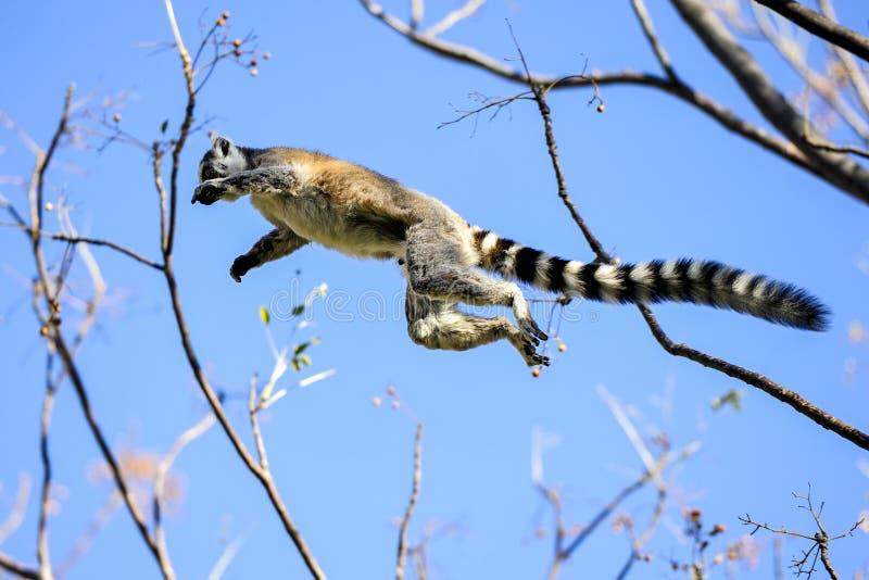 Lemur Ring-tailed, catta de lemur, Anja photos libres de droits