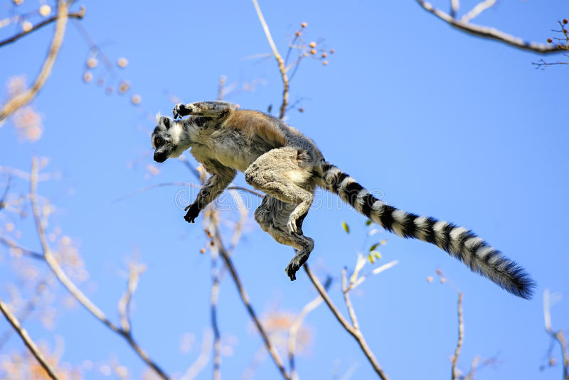 Lemur Ring-tailed, catta de lemur, Anja photo libre de droits
