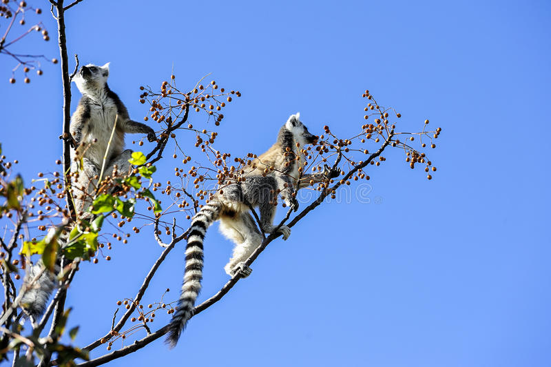 Lemur Ring-tailed, catta del lemur, Anja immagine stock