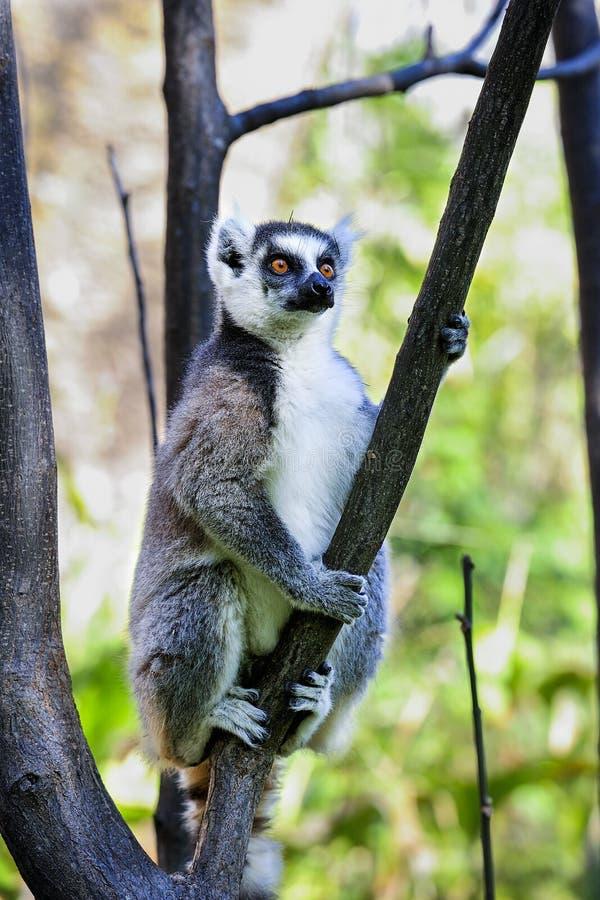 Lemur Ring-tailed, catta del lemur, Anja foto de archivo