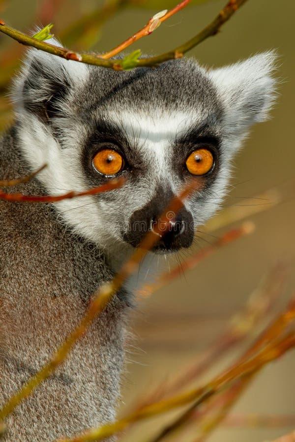 Lemur Ring-tailed (catta do Lemur) imagens de stock